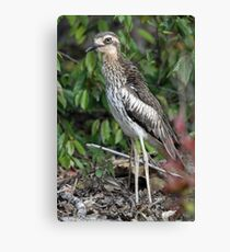 Bush Thick-knee Canvas Print