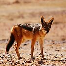 Black-back Jackal... by MacLeod