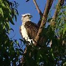 Osprey by Rick Playle