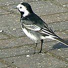 Pied Wagtail by Trevor Kersley