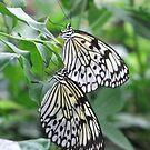 two butterflies  by adam63745