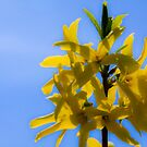 Yellow Against Blue by NervousNellie
