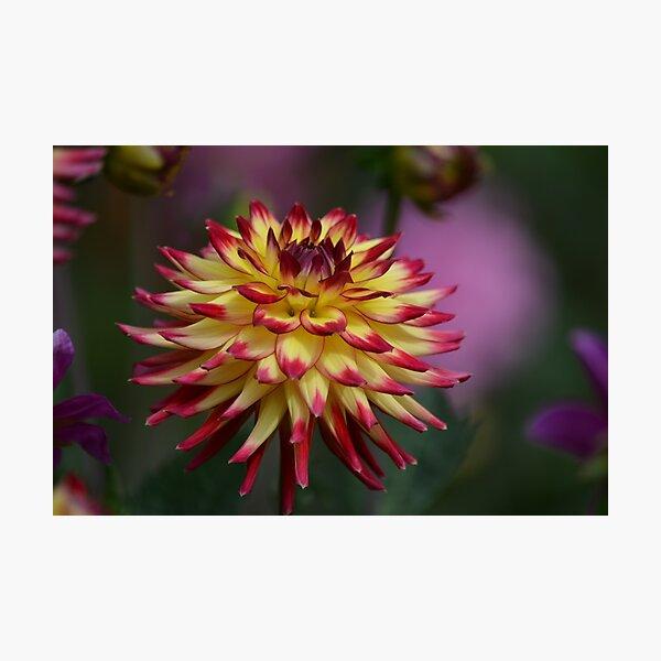 Beautiful Dahlia Photographic Print