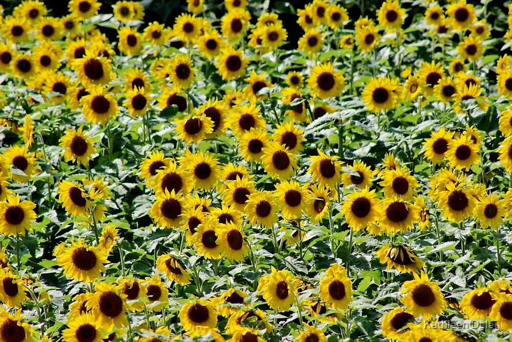 In the Valley of the Sunflower by Kathleen Daley