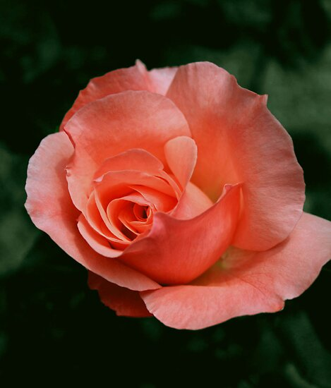 Rose by Diana Nault