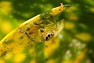 Jumping Spider - Lycidas species by Normf