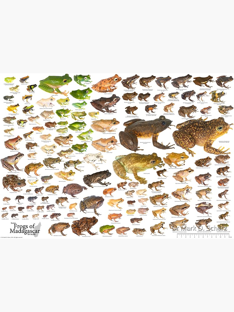 Some Frogs of Madagascar to Scale, Version 1.0 by markscherz