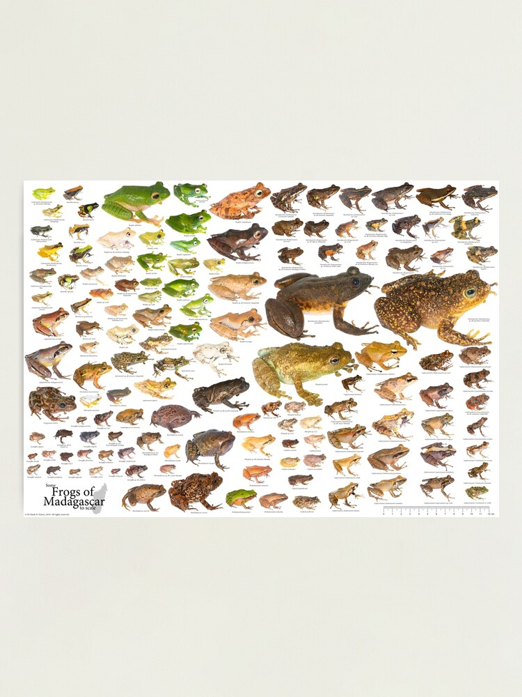 Alternate view of Some Frogs of Madagascar to Scale, Version 1.0 Photographic Print