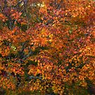 Autumn tones of a Japanese Maple #1 by Marilyn Harris
