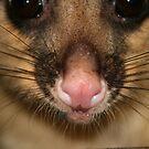 Possum's Cute Pink Nose by aussiebushstick