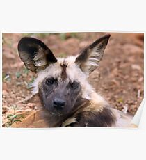 African Painted Dog Poster