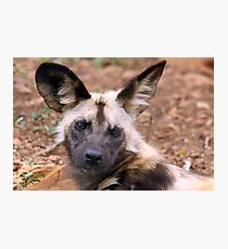 African Painted Dog Photographic Print