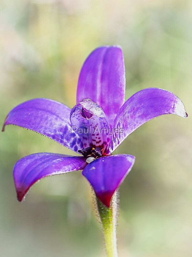 Purple Enamel Orchid by Paul Amyes