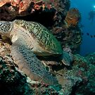 Green Turtle, Bunaken National Marine Park, Indonesia by Erik Schlogl