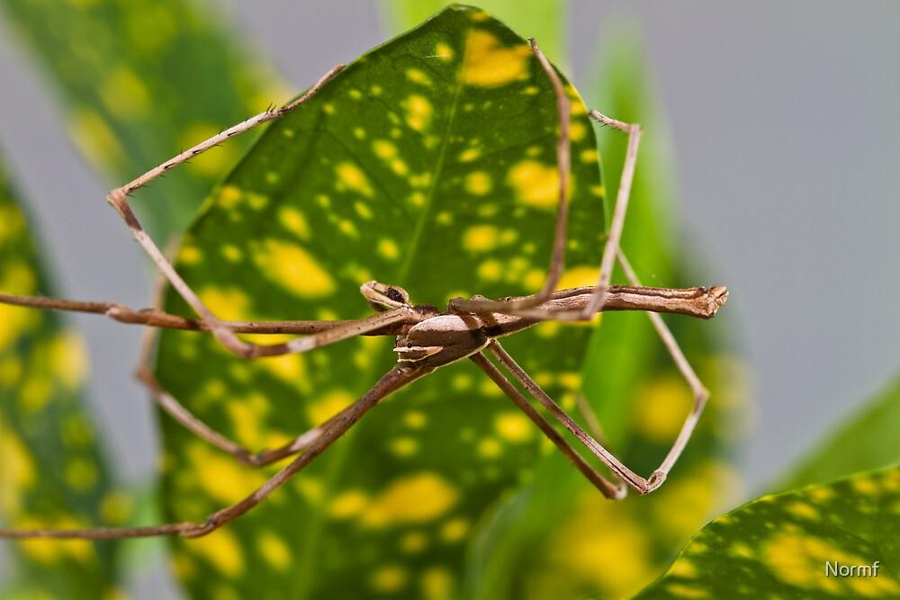 Common Net-casting Spider - Deinopis ravidus, mature male by Normf