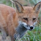 Credulous Red Fox  by DigitallyStill