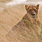 Lioness stalking by Konstantinos Arvanitopoulos