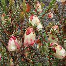Darwinia Mondurup Bell by Eve Parry