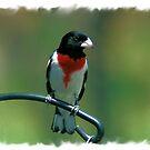 Red-Breasted Grossbeak by teresa731