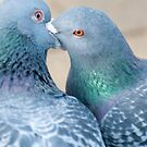 Pigeon kiss by mickeyb