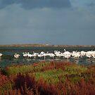 Greater Flamingos, Lagune de Korba by mariarty