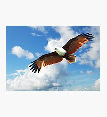''Red-backed Sea Eagle'' Photographic Print