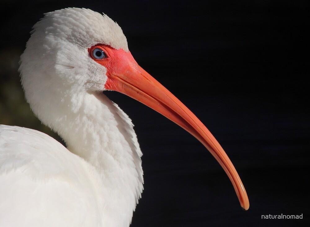 White Ibis Portrait by naturalnomad