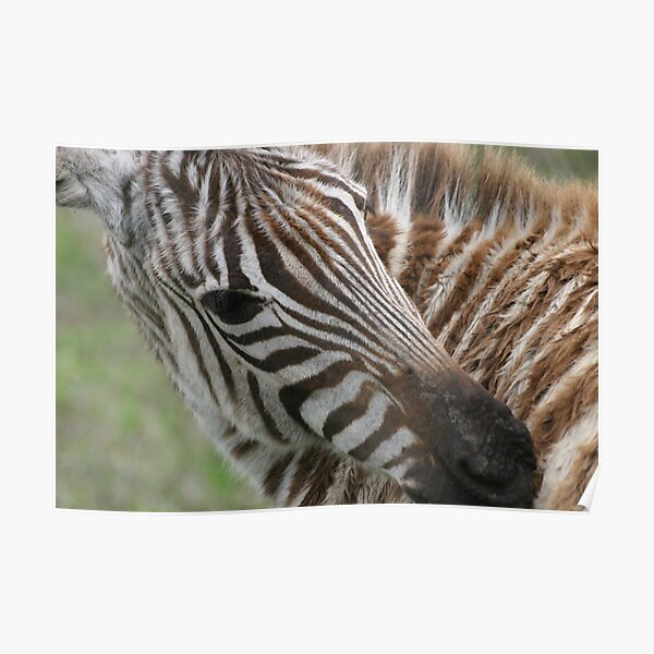 Zebra`s Stripes Poster