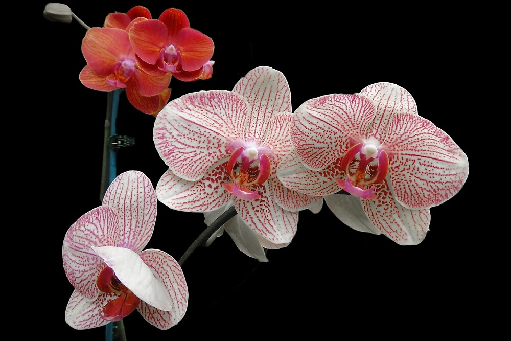 orchids by Aika-G