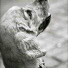 Spaniel Sophie by Sue-Ellen Cordon