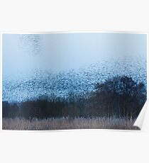 Sussuration of Starlings Poster