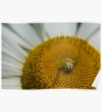 Goldenrod Crab Spider Poster