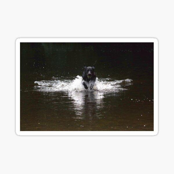 Black labrador in water Sticker