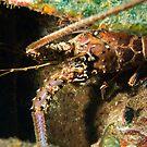 Crawfish (Spiny Lobster), Nassau, Bahamas by Shane Pinder