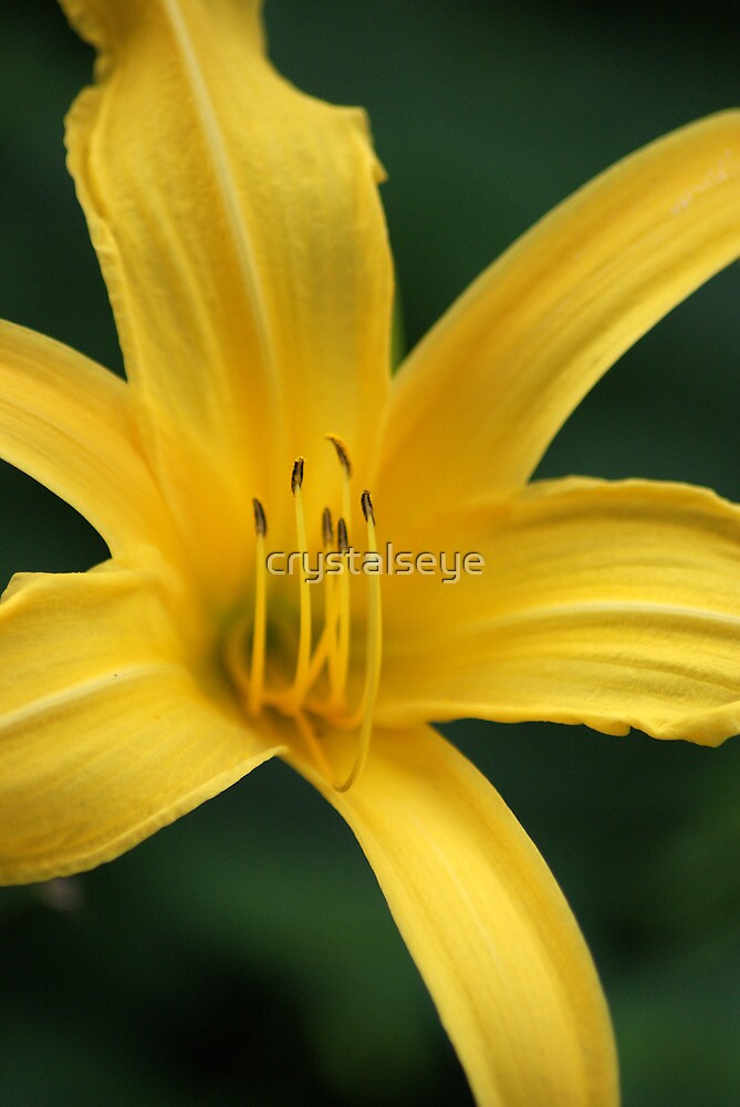 Yellow Lily by crystalseye
