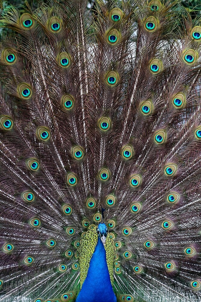 Peacock 2 by Pacey