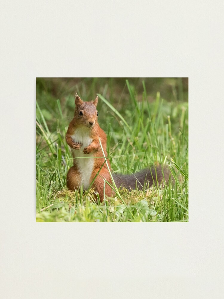 Alternate view of Squirrel in the grass Photographic Print