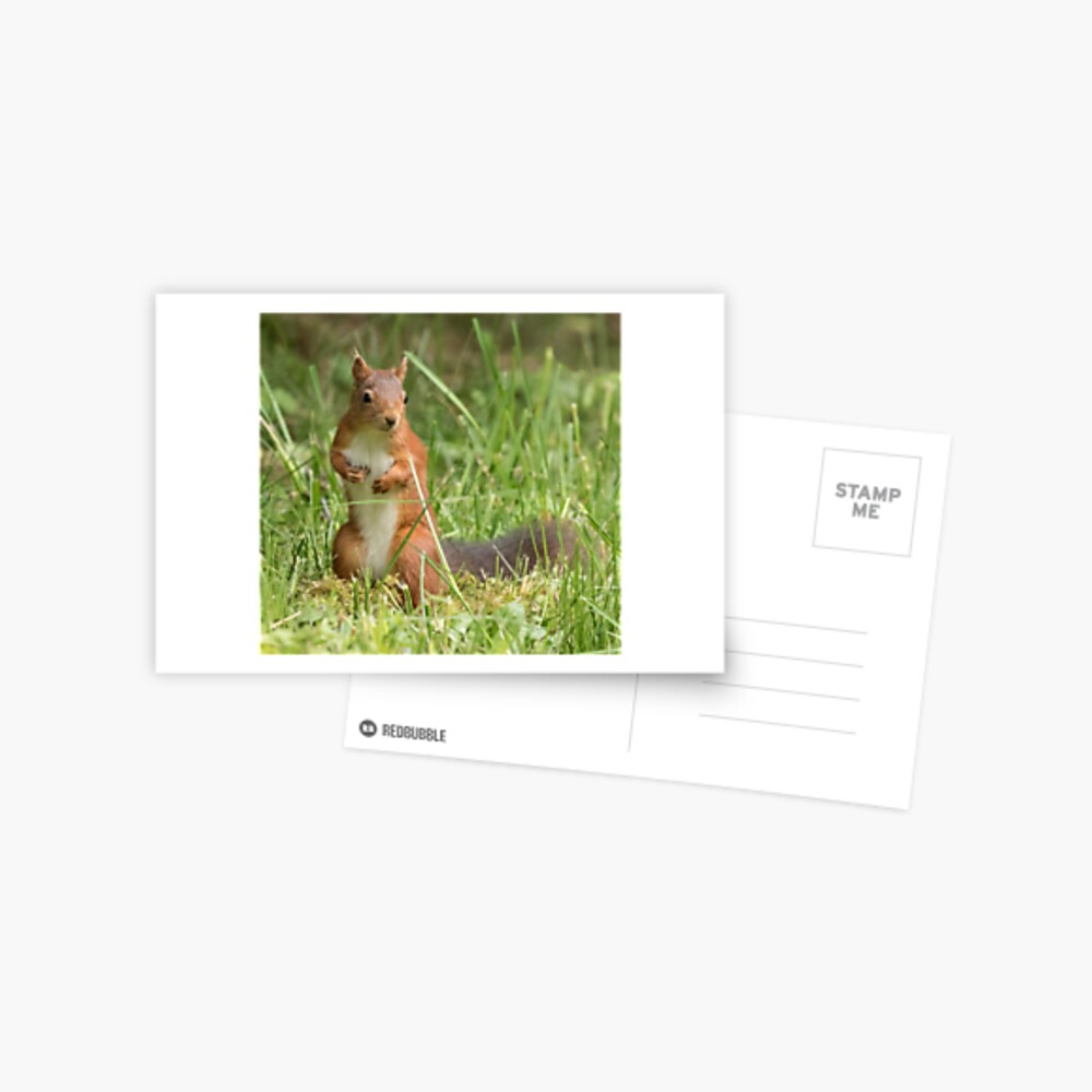 Squirrel in the grass Postcard