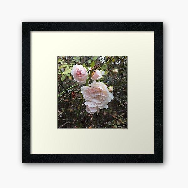Blush Roses Framed Art Print