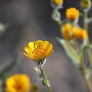 Desert Sunflowers Coachella Wildlife Preserve by Colleen Cornelius