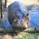 Are you looking at me? Posing Hippo by Cathie Trimble