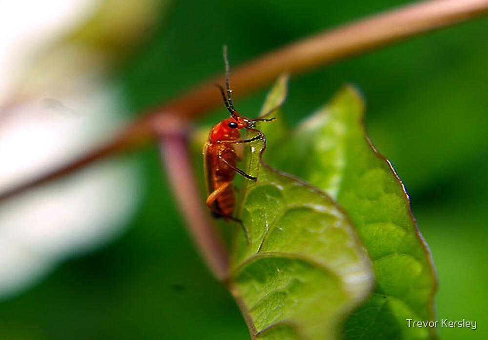 Soldier Beetle by Trevor Kersley