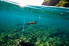 young turtle cruising the water by Flux Photography