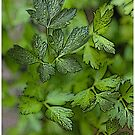 Parsley by Robert Case