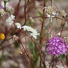Desert Wildflowers at Coachella Wildlife Preserve by Colleen Cornelius