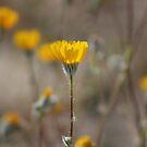 Closeup Desert Sunflowers Coachella Wildlife Preserve by Colleen Cornelius