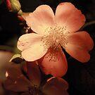 Morning Glow Rose by ElyseFradkin