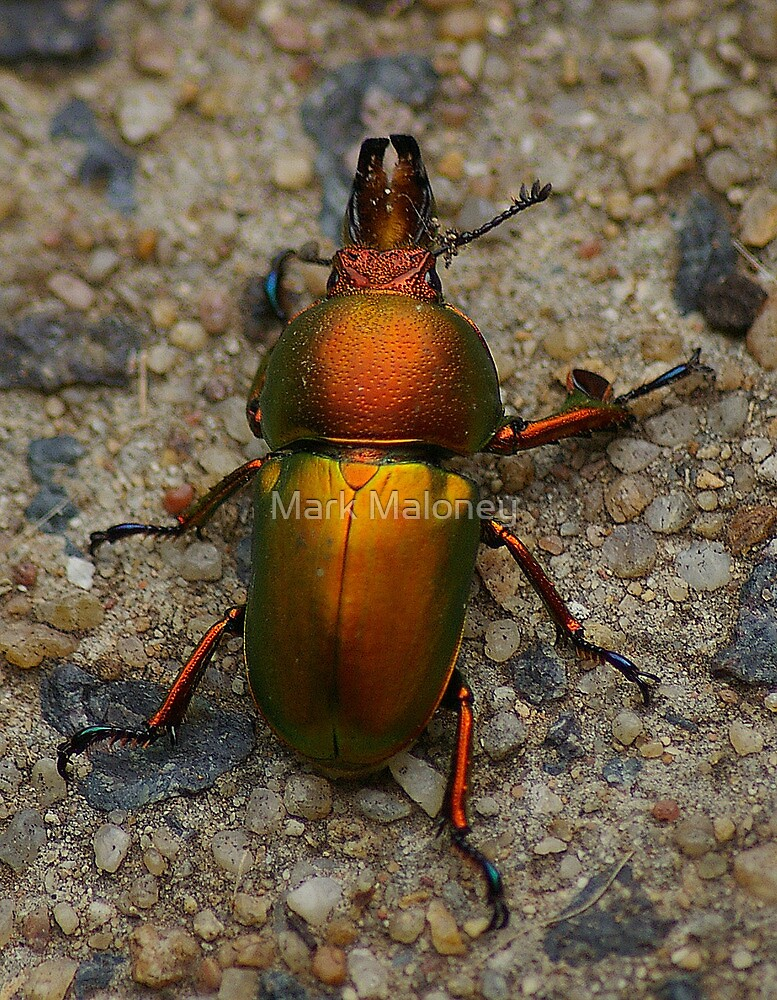 Christmas beetle by Mark Maloney