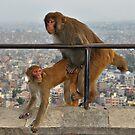Monkeys by Peter Hammer