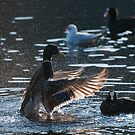 Mallard and coot by mickeyb